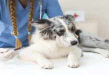 A Statistical Univariate Analysis Of The General Response Of Local Dogs To Vaccination
